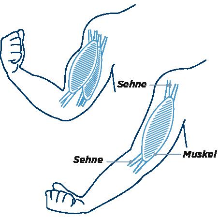 muskelgruppen am bein